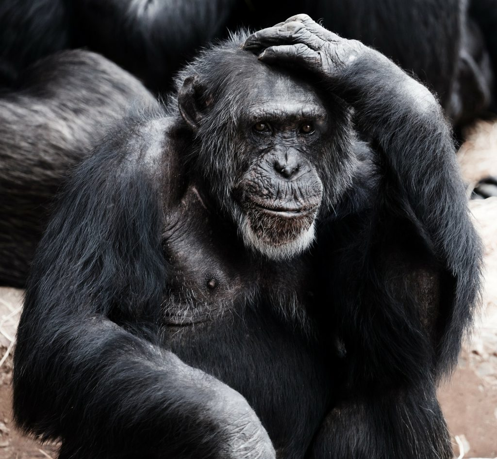 A gorilla scratching his head, looking confused.